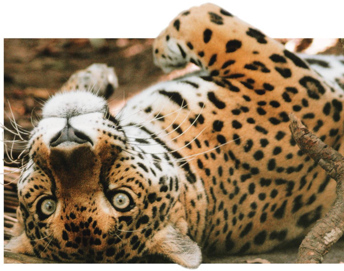 O anestésico, aplicado com o auxílio de dardo, transforma a fera de 100 quilos num gato de almofada; a não ser quando não dá certo