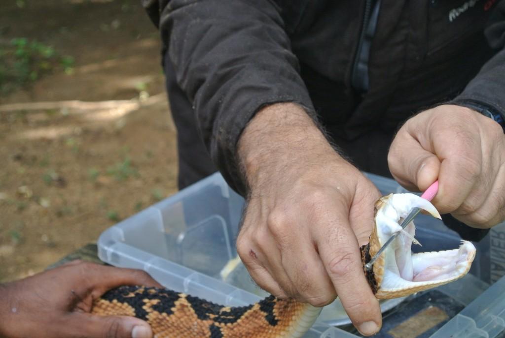 Uma gota de veneno escorre do dente de uma surucucu do Núcleo Serra Grande (foto: Bernardo Esteves)