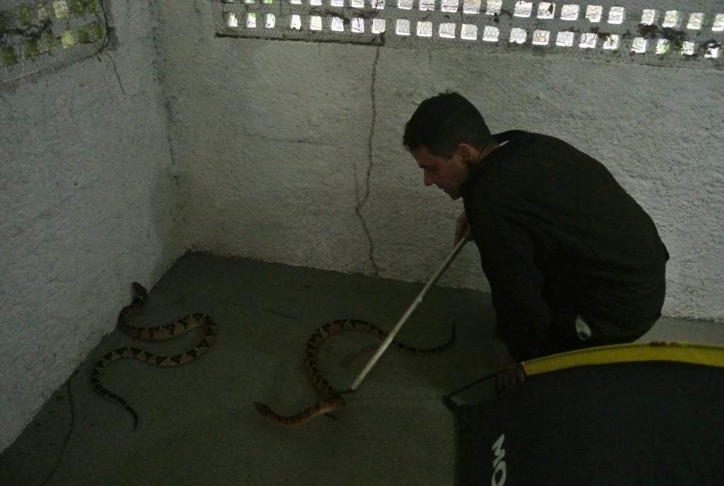 Rodrigo Souza separa uma surucucu que havia dado uma dentada na cabeça da outra, ao tentar avançar sobre o rato que ela estava comendo (foto: Bernardo Esteves)