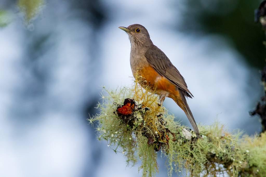 Turdus rufiventris | Sabiá-laranjeira
