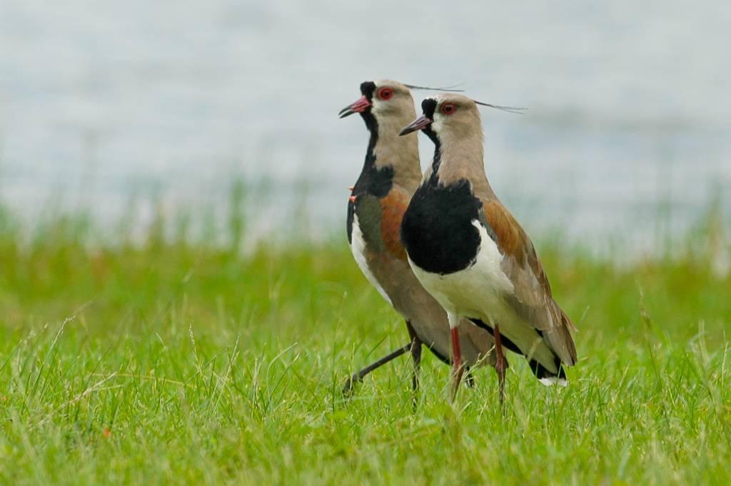 Vanellus chilensis | Quero-quero