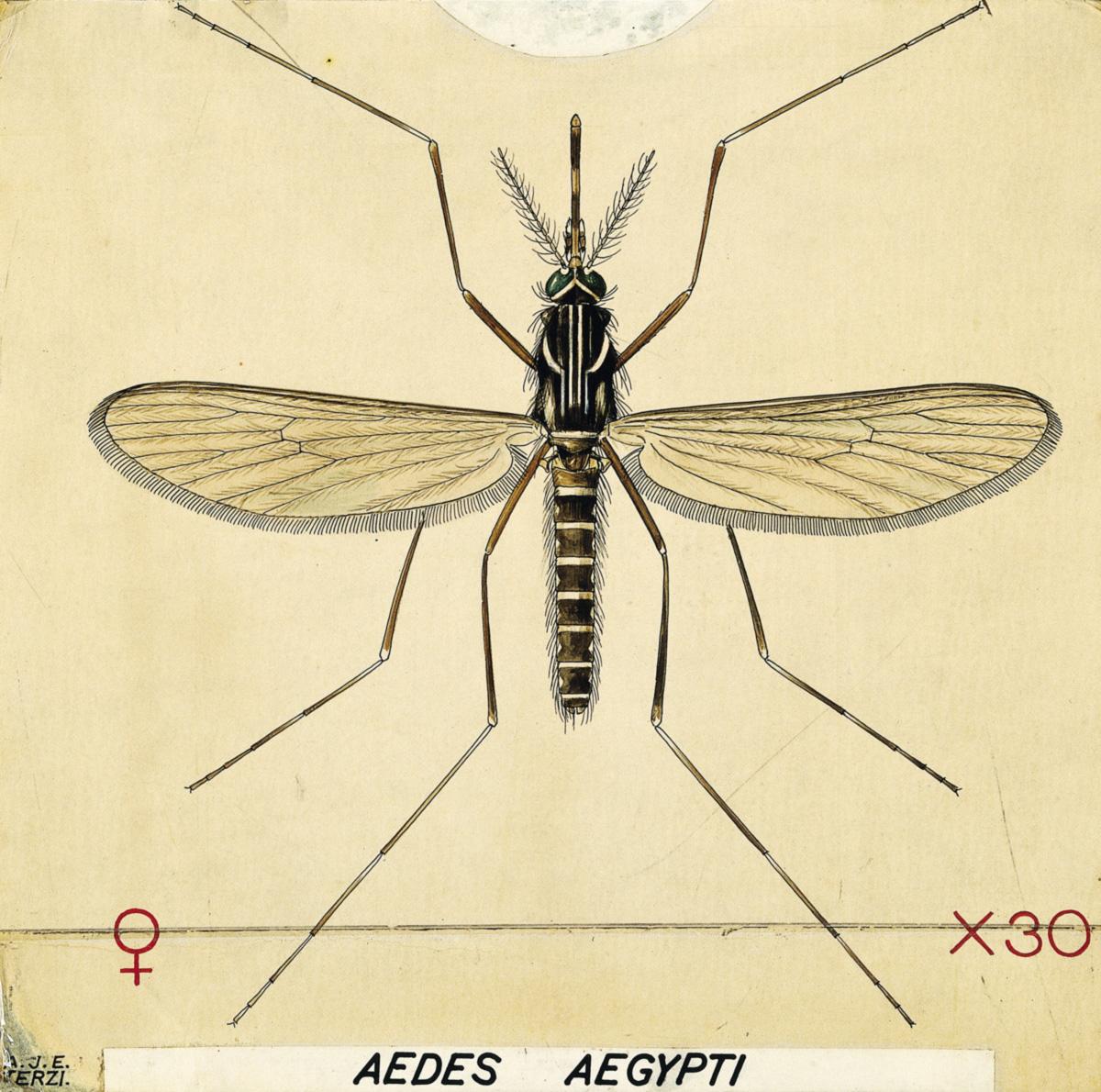 No laboratório úmido e fétido da Moscamed, na Bahia, são produzidos mosquitos para carregar genes fatais que matarão sua própria cria. O objetivo é controlar a população