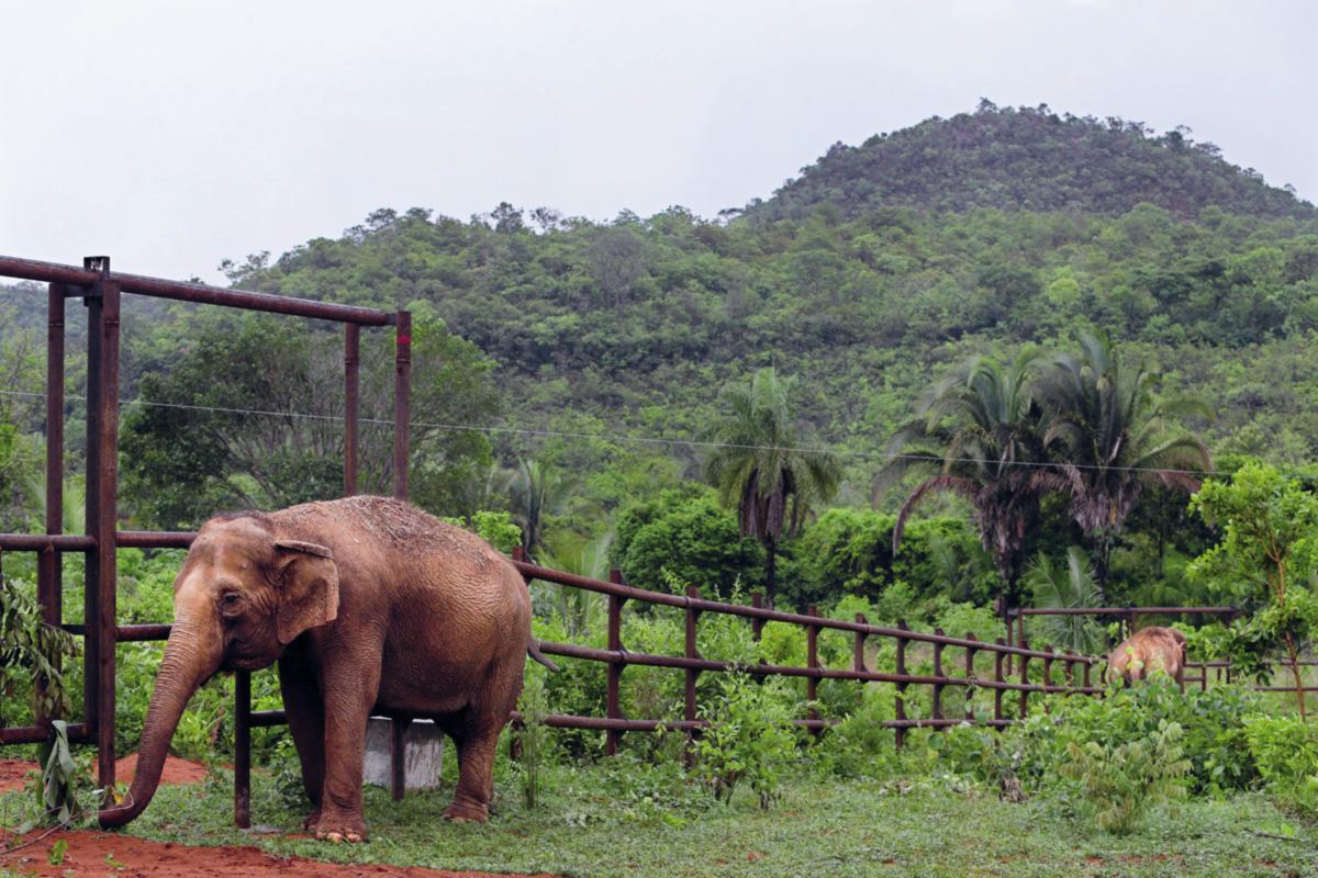 """Em 2010, Maia e Guida se exibiram pela última vez no Circo Portugal, ao som de uma música indiana, montadas por duas mulheres e seguidas por um grupo fantasiado de Ali Babá. Depois viveram num zoológico, numa fazenda ─ onde foram acorrentadas ─ e, finalmente, no santuário. """"Agora elas podem ser elefantes"""", diz Scott Blais"""