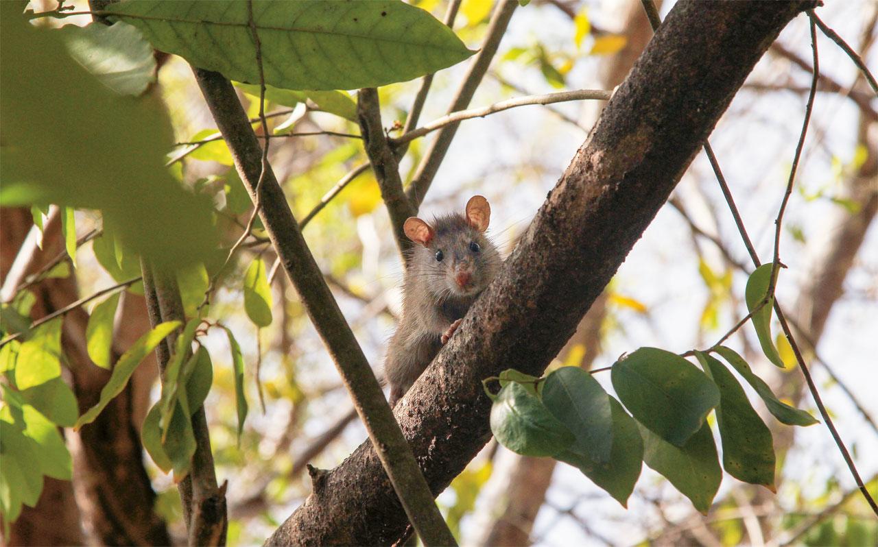 Os ratos chegaram a Fernando de Noronha com os colonizadores portugueses e, capazes de nadar, se espalharam pelo arquipélago, predando aves marinhas e outras espécies nativas. Agora, cientistas estão tentando erradicar os milhares de roedores que infestam uma de suas ilhas