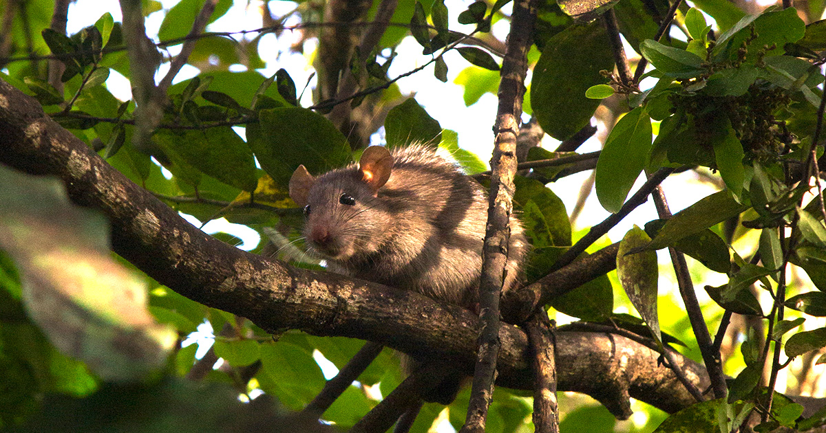 O extermínio de cerca de 10 mil ratos-pretos (<i>Rattus rattus</i>) na ilha do Meio deve beneficiar os atobás-marrons que se reproduziam ali