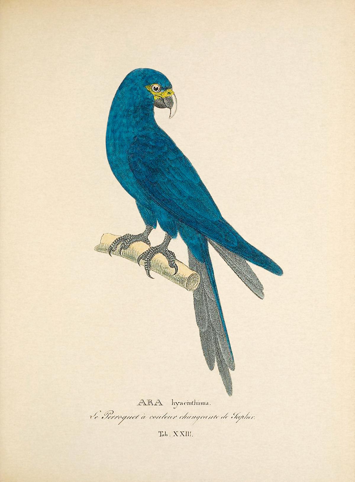 Em 1824, num livro do alemão Johann von Spix, publicou-se pela primeira vez a imagem da ave