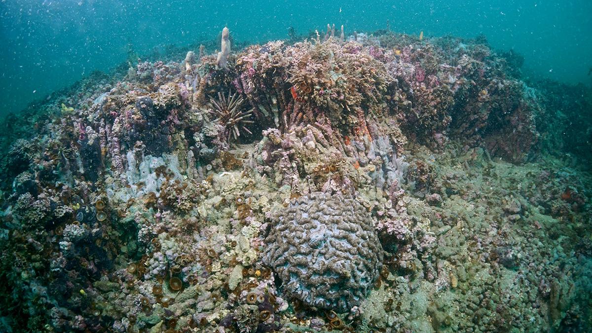 A estrutura calcária do recife foi construída por uma única espécie de coral (Madracis decactis), mas é revestida por uma grande variedade de organismos, como algas, esponjas e outros corais. Em primeiro plano, uma colônia de coral-cérebro