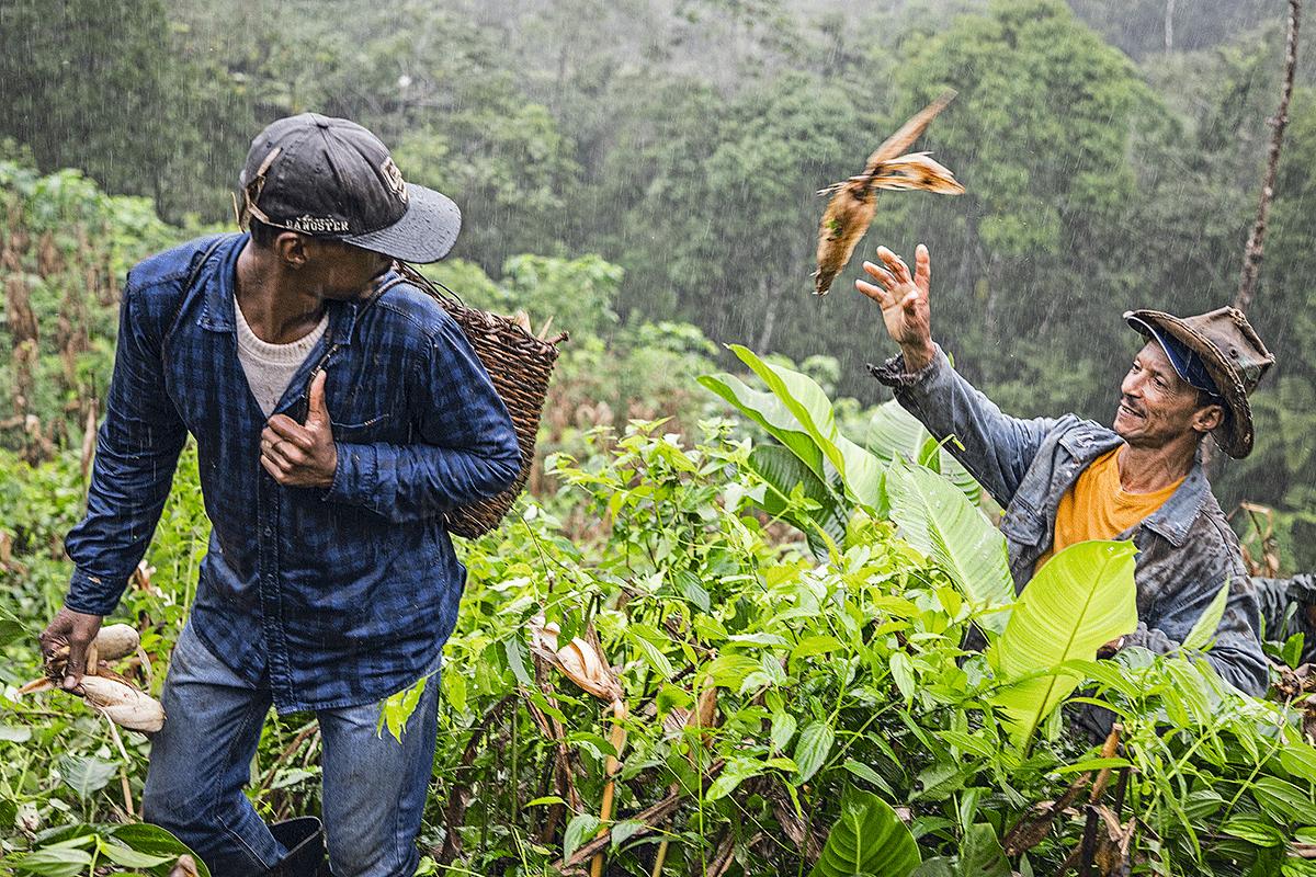Lavradores de dez comunidades do Vale do Ribeira, em São Paulo, participaram do mutirão – ou puxirão, como dizem – de colheita de coivara