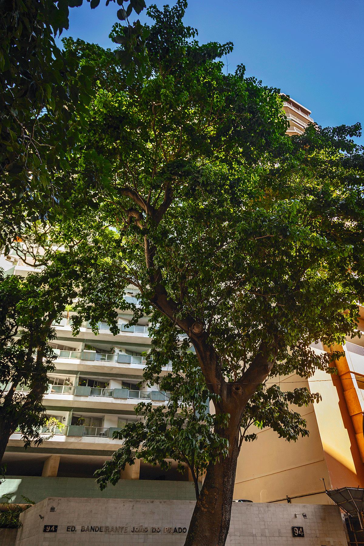 Passados seis anos da poda, a árvore está novamente frondosa. Sempre que uma tempestade assola o Rio, algum morador publica uma foto nova do assacu no Facebook