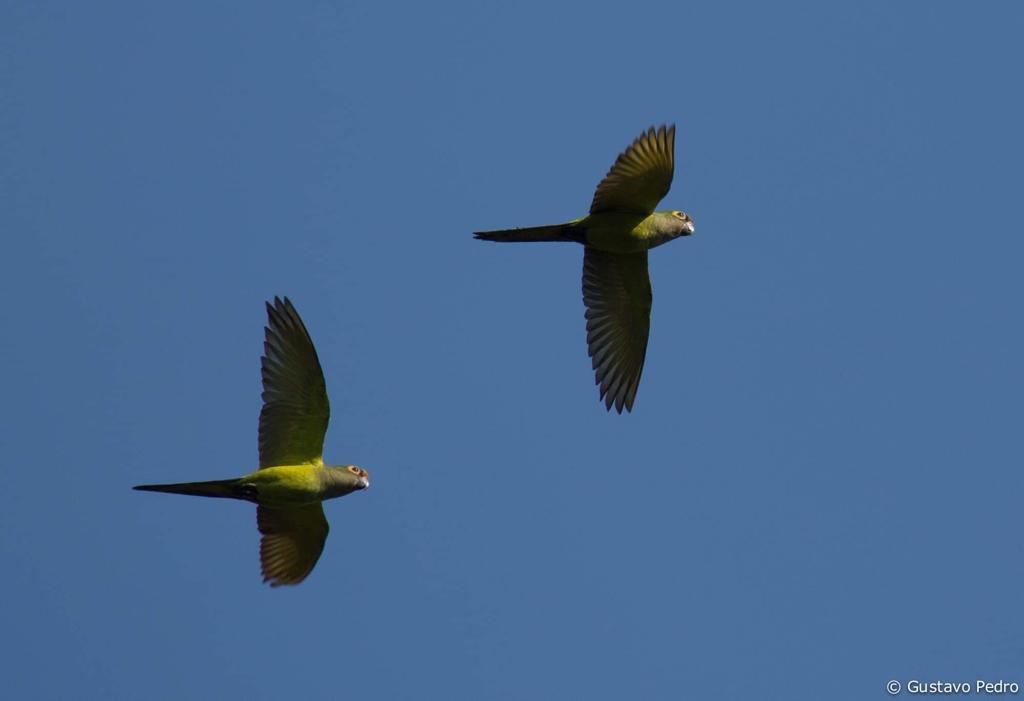 Um casal de periquitos-rei. A espécie é monogâmica, e bastante encontrada no cerrado