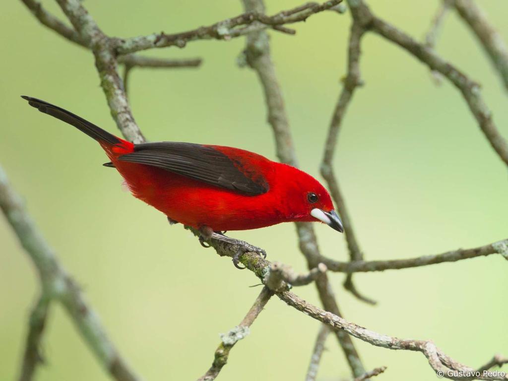 Um tiê-sangue, ave endêmica do Brasil, símbolo da Mata Atlântica, encontrada numa área litorânea que vai da Paraíba a Santa Catarina.