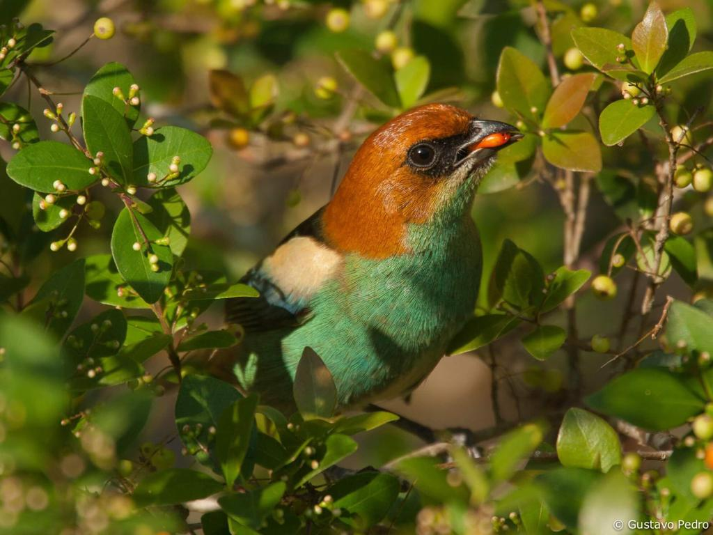 Um macho de saíra-sapucaia, ave extremamente colorida, que no inverno migra de Santa Catarina e de São Paulo para o litoral do Rio de Janeiro e do Espirito Santo, onde se alimenta do fruto da aroeira. É considerada vulnerável.