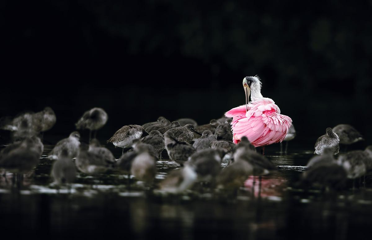 O colhereiro, cercado por pássaros de plumagem monótona, exibe toda a exuberância de sua beleza: há casos exemplares da capacidade da natureza de levar criaturas a extremos estéticos