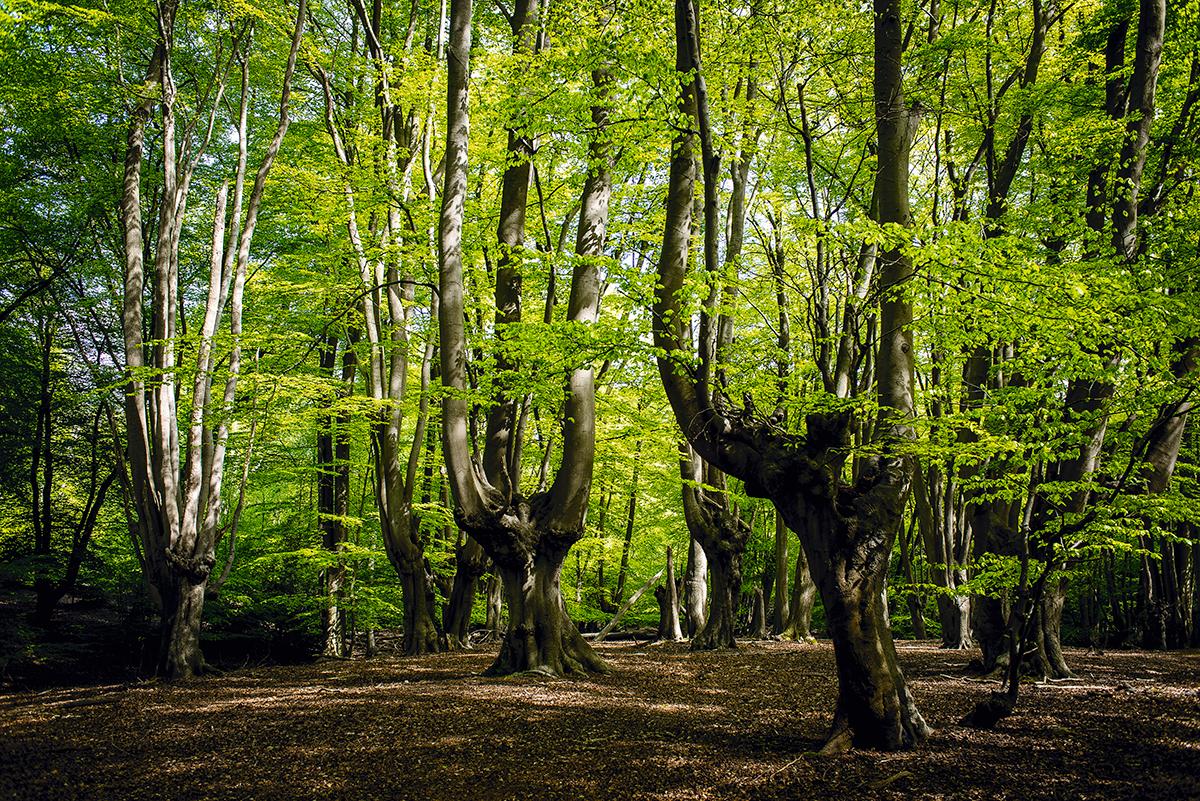A Floresta de Epping, nos arredores de Londres: os fungos frustram nossas noções costumeiras dos limites entre a parte e o todo, das definições de organismo, dos significados de descendência e herança genética; é difícil, até, dizer onde um fungo começa ou termina, e quando nasce ou morre