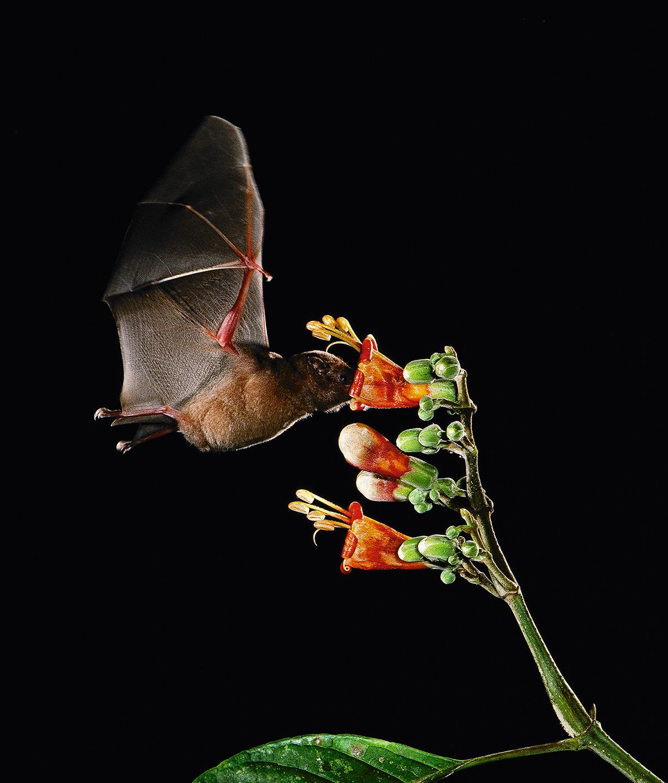 Um morcego poliniza uma flor, no Panamá: se o novo coronavírus veio de um morcego, cabe lembrar que, quando nos apossamos de seus nichos, eles se espalham e invadem nossos quintais