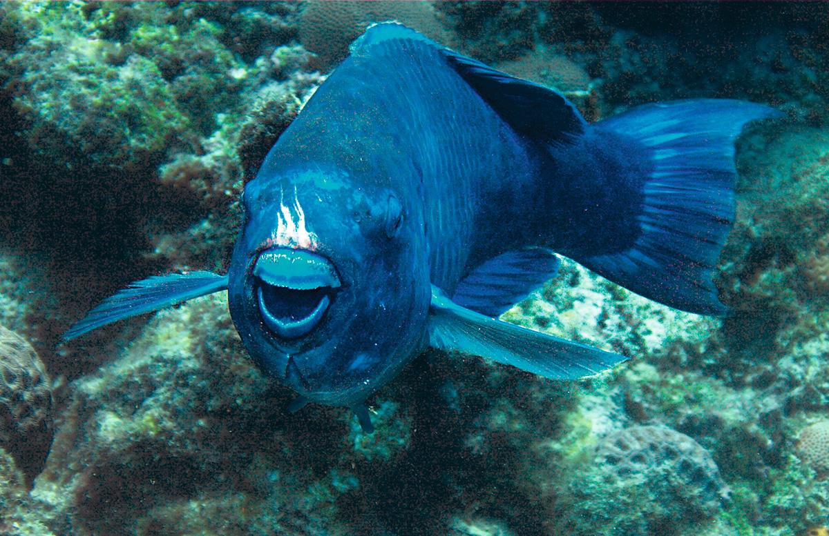 O budião-azul e seu sorriso: capacidade para arrancar pedaços de corais e algas dos recifes